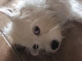 Half Cavalier King Charles Spaniel and Half Sealyham Terrier